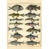 Natural History Fish Wrapping Paper (and/or Poster)